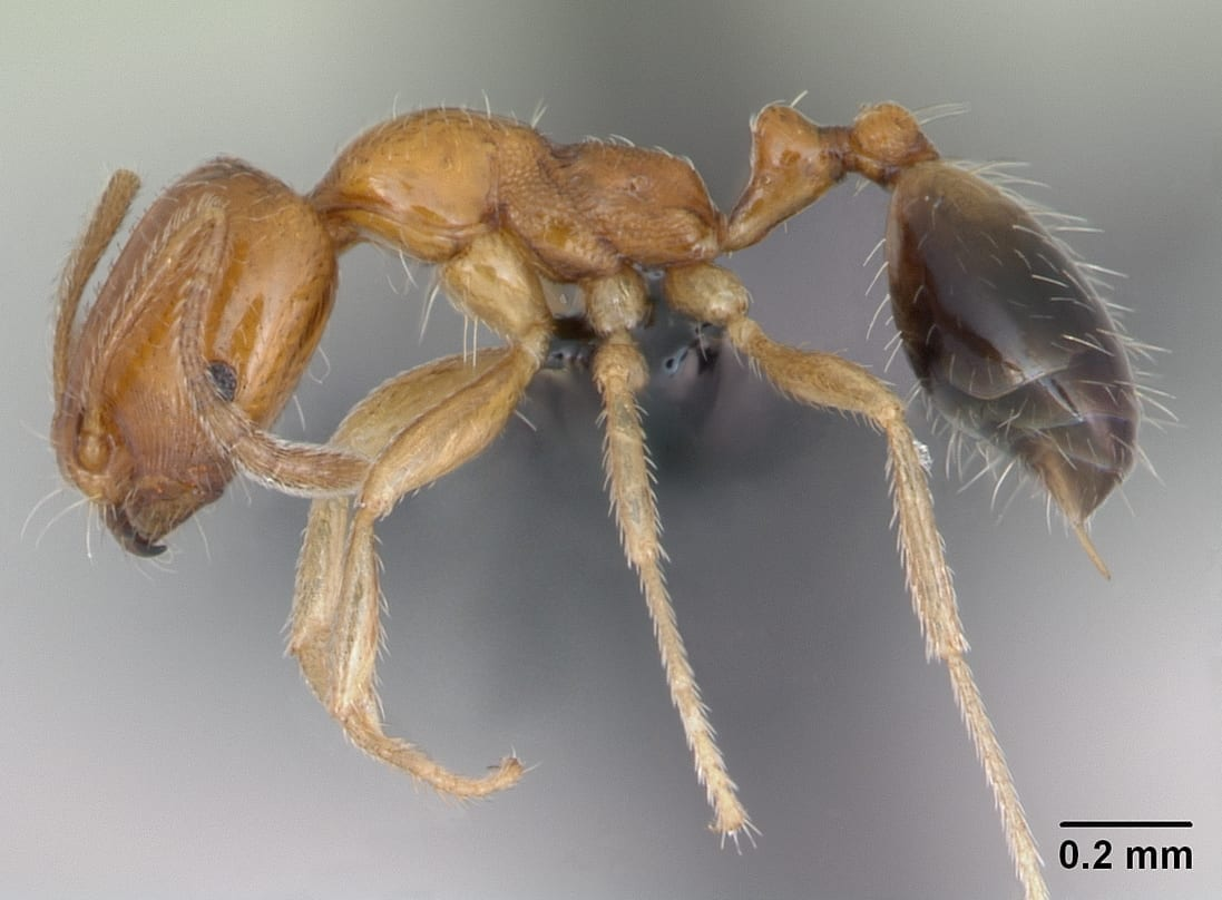 Singapore Ant